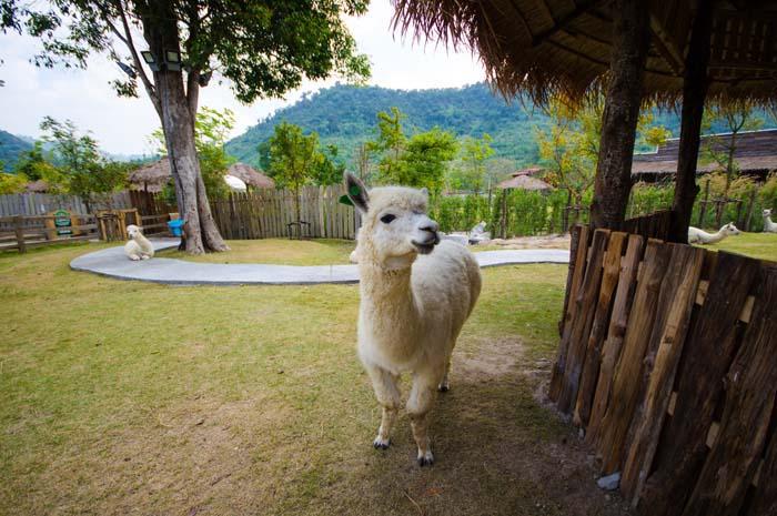 Alpaca Hill Suan Phueng