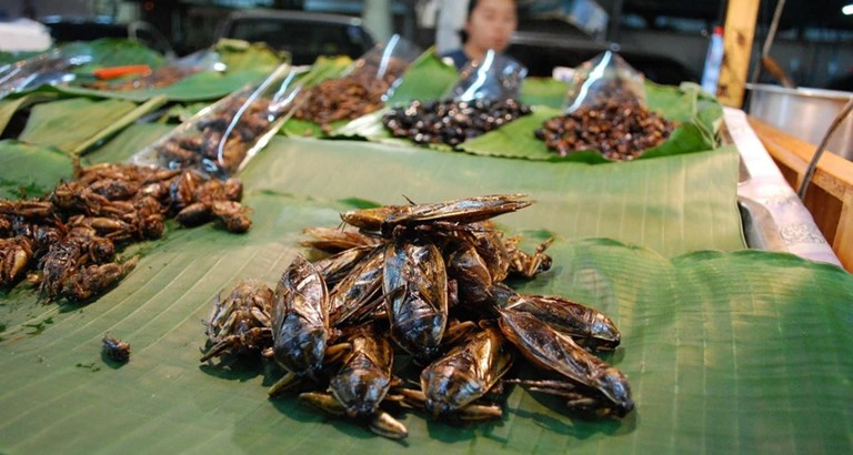 giant water bug eating locus insect in thailand
