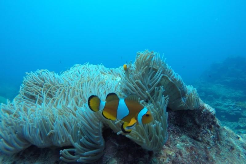 pilleh lagoon snorkeling clown fish