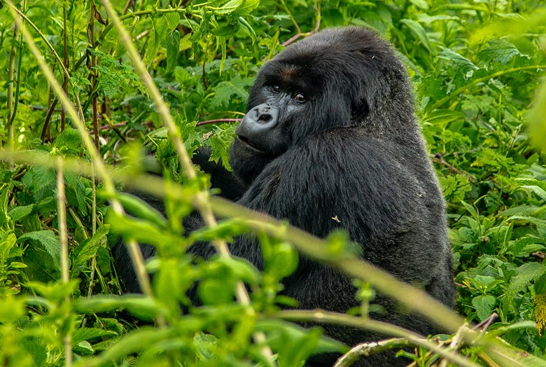 gorilla in rwanda can americans travel to africa is rwanda open to united states tourists which contries can americans travel to now